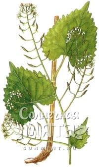 Васаби Eutrema cordifolium