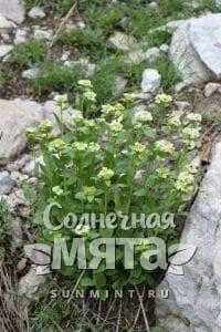 Васаби Eutrema integrifolium