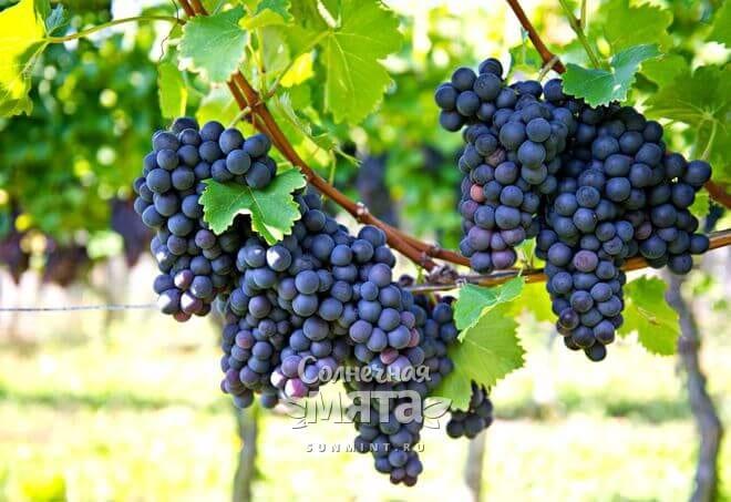 Виноград растет на длинных лианах