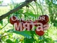 Вишня Шпанка крупноплодная