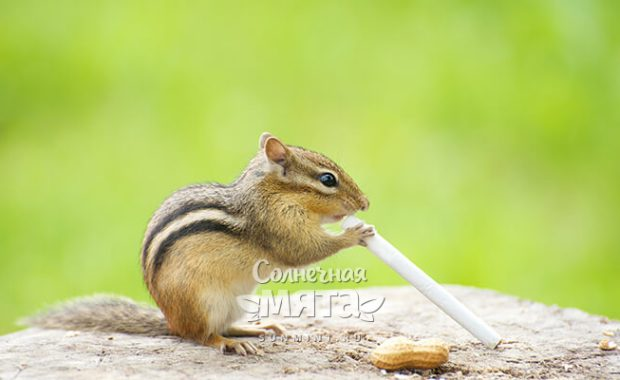 Бурундук с сигаретой, фото