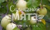 Яблоко Антоновка обыкновенная