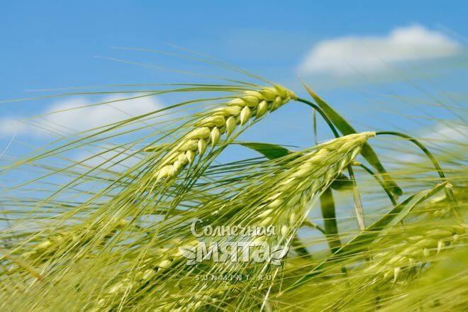 Ячменные зерна растут в колосьях