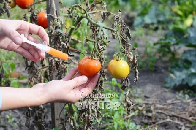 Женщина впрыскивает в помидор химикаты, фото