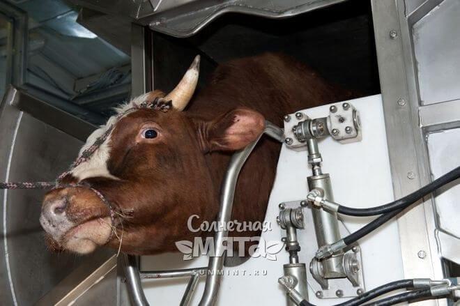 Корова на скотобойне, фото
