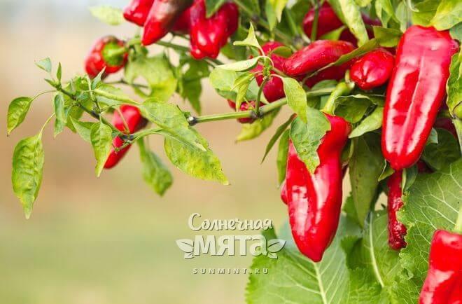 Болгарский перец растет на кустах