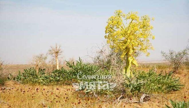 Асафетида растет высокими кустами