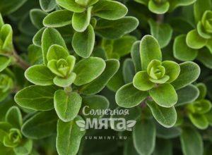 Майоран растение с уютным ароматом