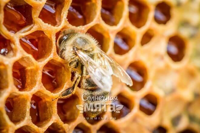 Пчелы мажут прополисом щели